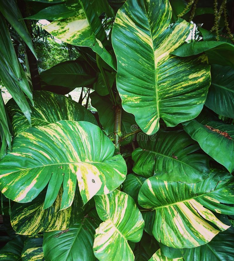 Big Green leaves royalty free stock photos