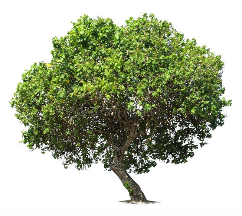 Big green oak tree stock photography