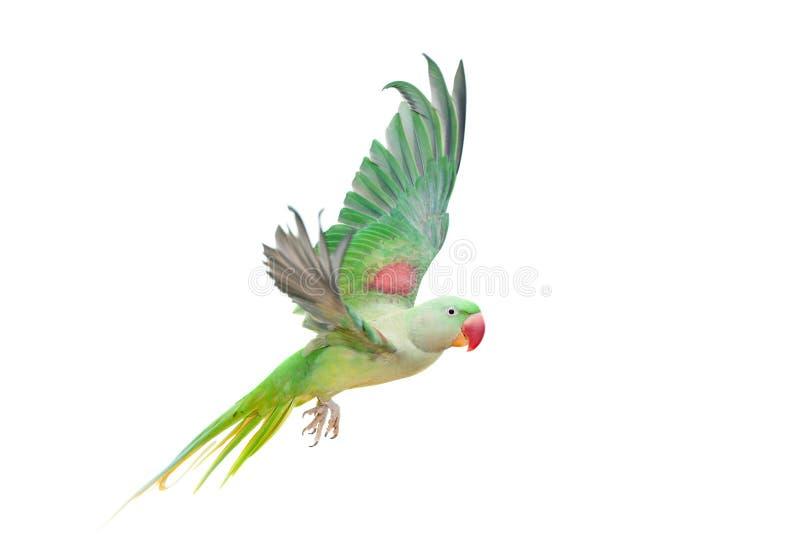 Big green ringed or Alexandrine parakeet on white. Big green ringed or Alexandrine parakeet - Psittacula eupatria - female isolated over white background royalty free stock images