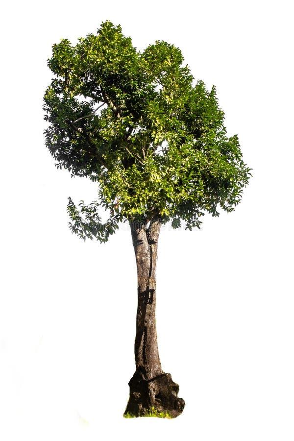 Big greensingle white background tree. Big green single white background tree royalty free stock photos