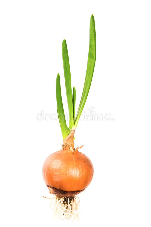 Big Green sprouted onion with root stock photos