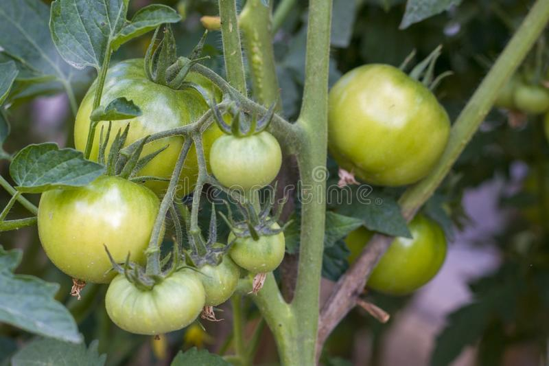 Big green tomatoes grows stock photo
