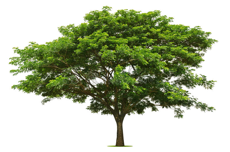 The big green tree is bright on the white stock photo