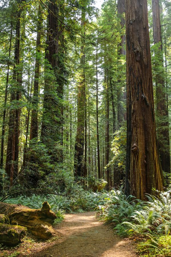 Free Big Green Tree Forest Trail At Redwoods National Park Spring Stock Image - 146934811