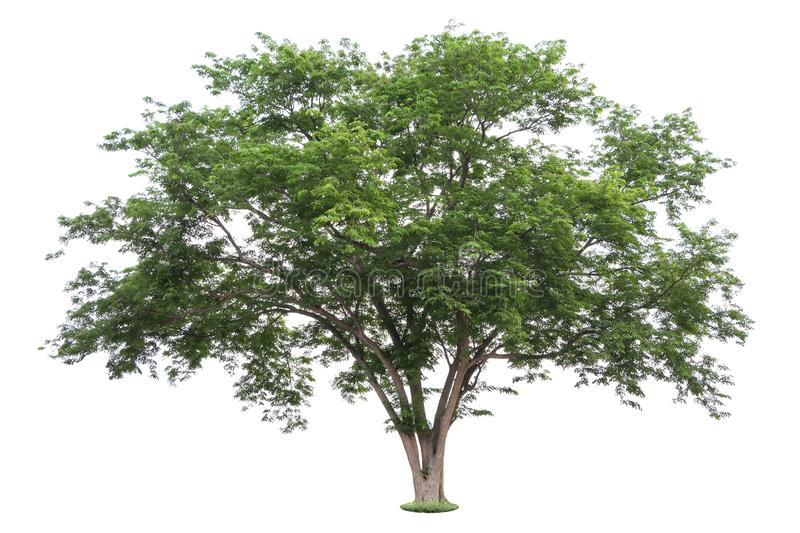 The big and green tree isolated on white background. Beautiful and robust trees are growing in the forest, garden or park.  stock photo