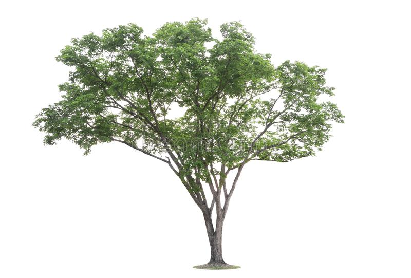 The big and green tree isolated on white background. Beautiful and robust trees are growing in the forest, garden or park stock image