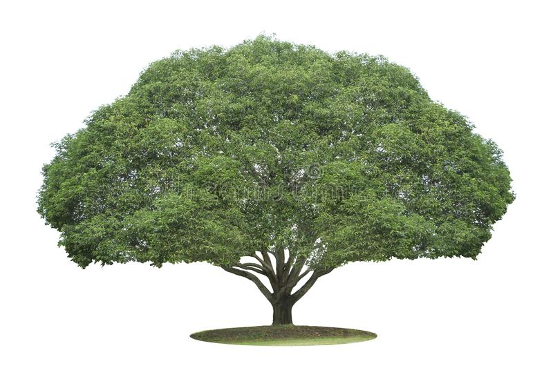 The big and green tree isolated on white background. Beautiful and robust trees are growing in the forest, garden or park.  royalty free stock photography