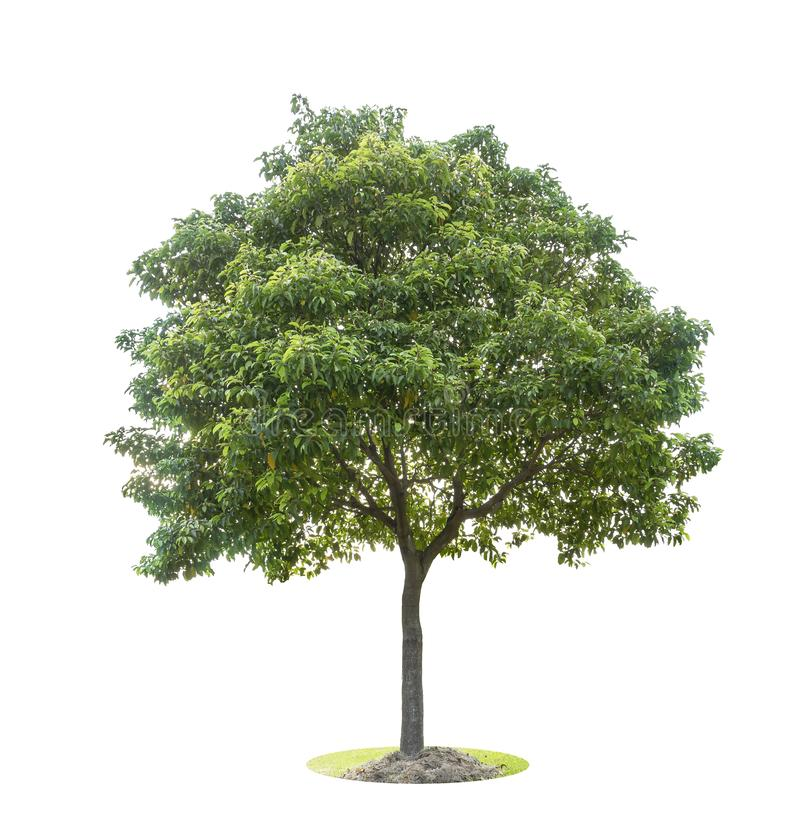 The big and green tree isolated on white background. Beautiful and robust trees are growing in the forest, garden or park stock photos