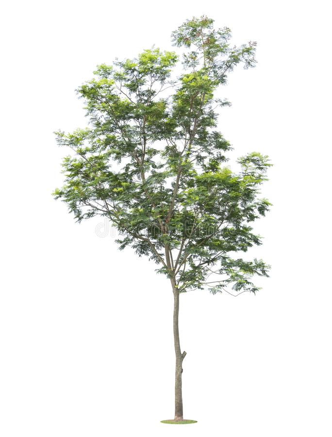 The big and green tree isolated on white background. Beautiful and robust trees are growing in the forest, garden or park stock photography