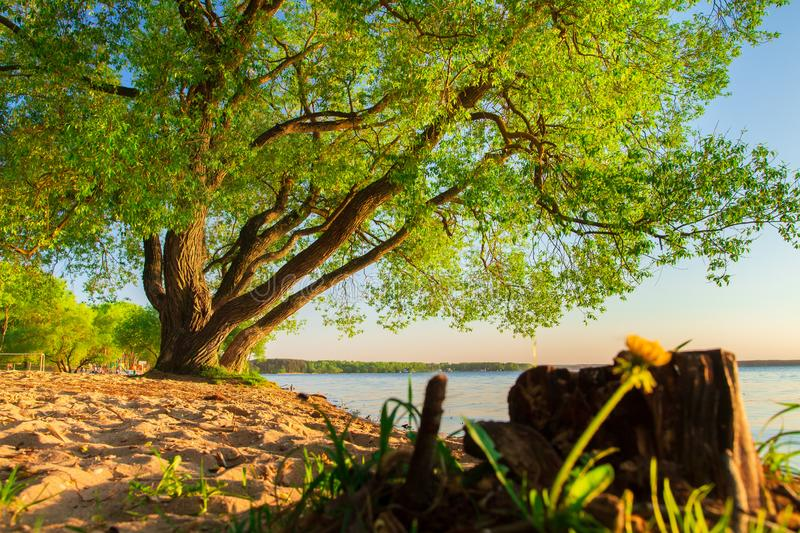 Big green tree on lakeside in springtime royalty free stock image