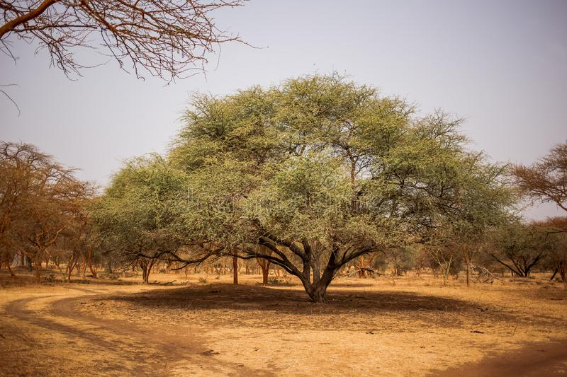 Big green tree making big shadow on sandy road. Wild life in Safari. Baobab and bush jungles in Senegal, Africa. Bandia Reserve. Hot, dry climate stock images