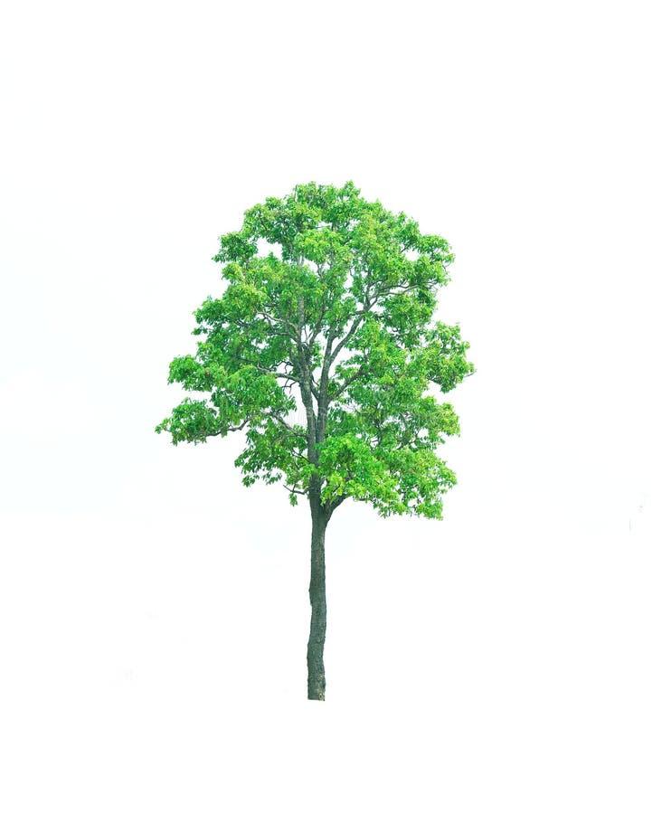 Big green tree. Nature,enviroment royalty free stock image