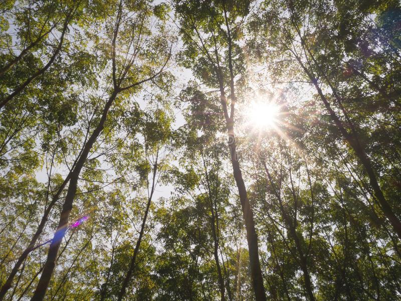 Big green trees high up to sky with sunlight flare in deep forest. Nature and environment concept royalty free stock photography