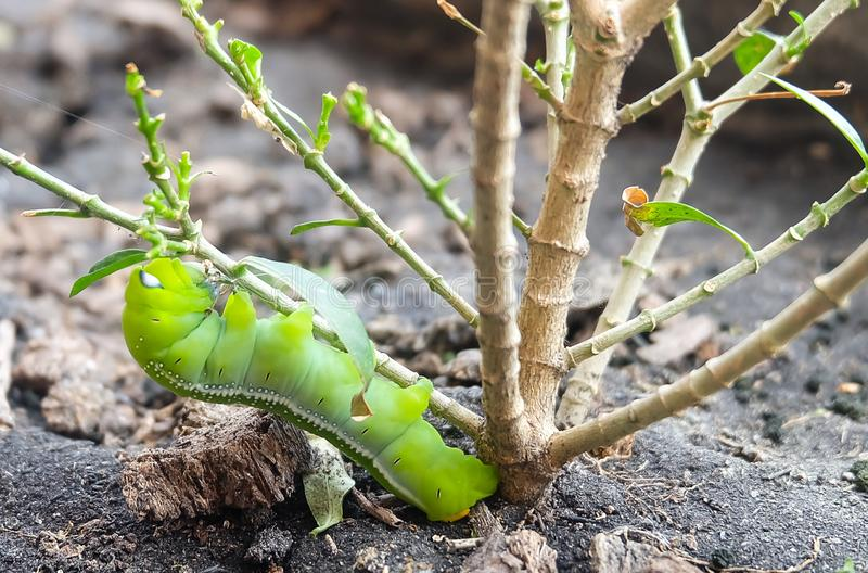 Big Green Worm or Caterpillar on Tree Branch royalty free stock photos