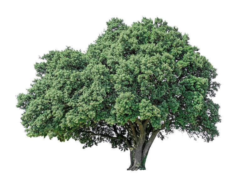 Big greenery Holly oak tree isolated, an evergreen leaves plant die cut on white background with clipping path stock images