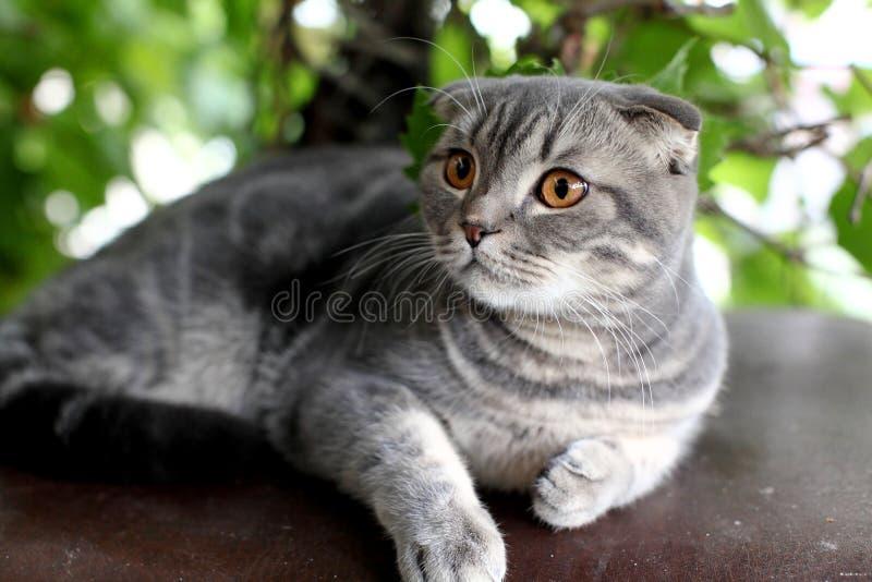 Big grey british cat en plein air image libre de droits