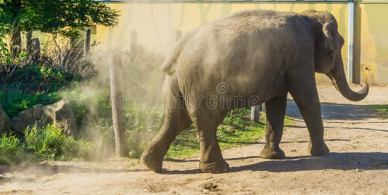 Big grey elephant from behind making dust with the sand and walking away. A big grey elephant from behind making dust with the sand and walking away royalty free stock images