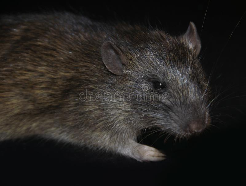 Grey rat attacks from dark. Big grey rat on black background. Focus on a head royalty free stock photo