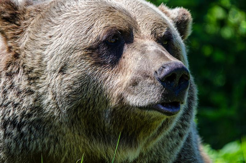 Big grizzly bear looking for pray. In Canada stock images
