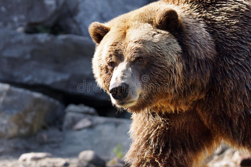 Big grizzly looking. Big grizzly brown bear looking at camera, Ursus arctos horribilis royalty free stock photography