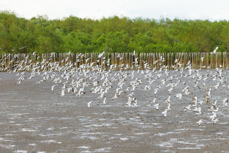 Download Big Group Of Brown Headed Gull Flying Stock Image - Image: 30567157