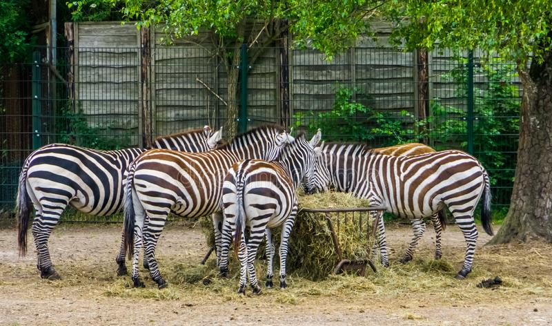 Big group of grants zebras eating hay from the crib, zoo animal feeding, tropical mammals from Africa royalty free stock photography
