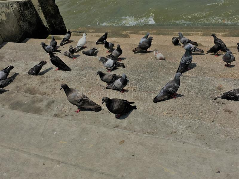 Big group of pigeons, walking on ground.Crowd of pigeon on the walking street.pigeons spread diseases.How do pigeons spread royalty free stock photos