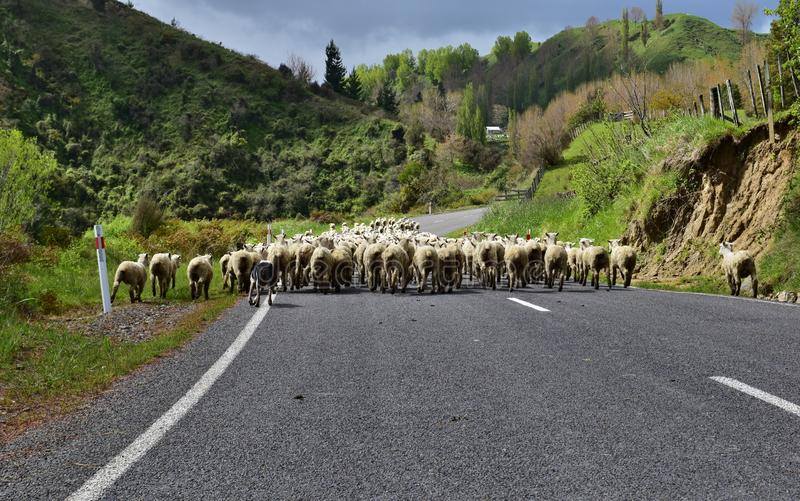 A big group of sheep on a road stock image