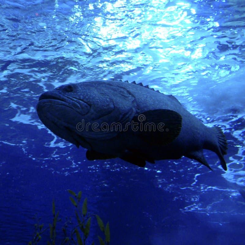 Big grouper fish stock photography