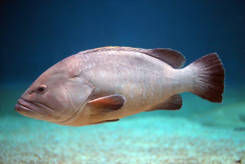 Big grouper swimming royalty free stock photos