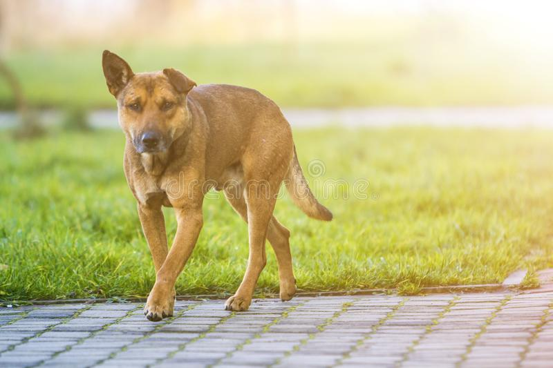 Big grown-up old smart stray yellow dog looking in camera standing alone on empty paved street on bright sunny blurred copy space. Background stock image