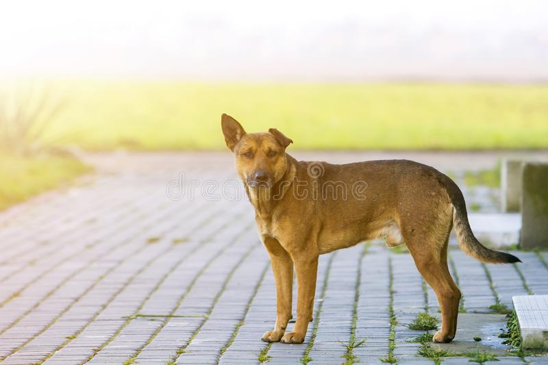 Big grown-up old smart stray yellow dog looking in camera standing alone on empty paved street on bright sunny blurred copy space. Background stock photo