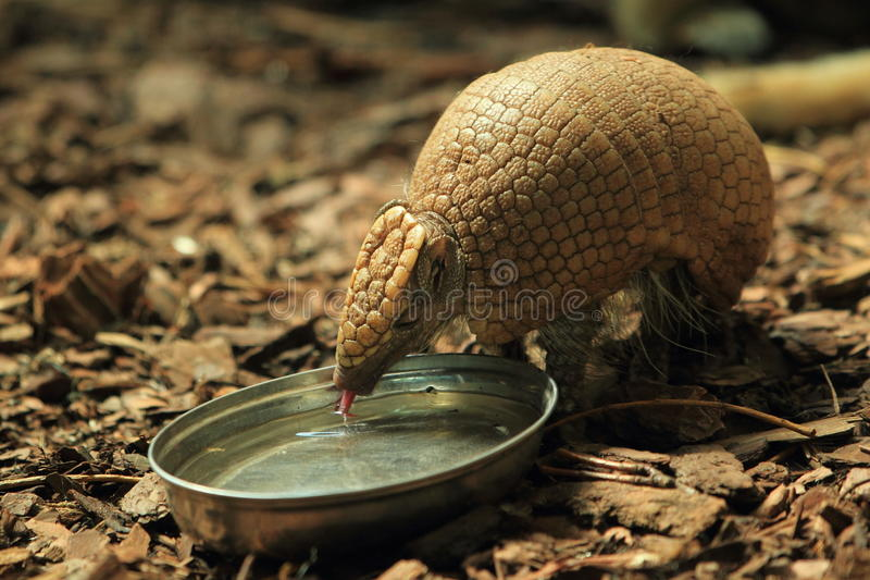 Big hairy armadillo. The big hairy armadillo drinking from the bowl stock photos