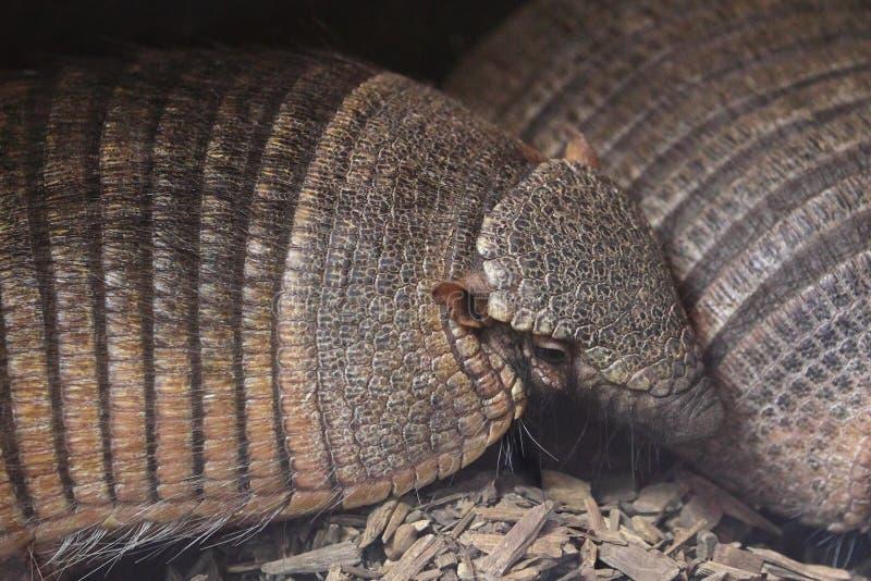 Big hairy armadillo royalty free stock photography