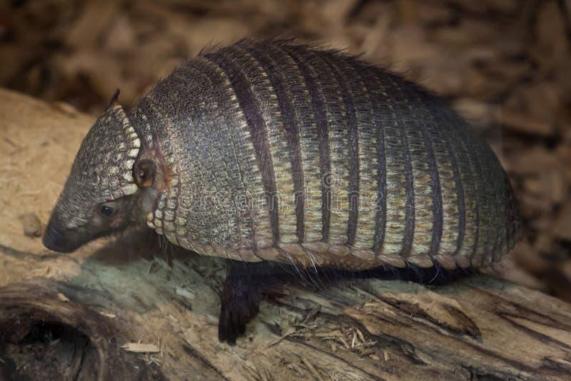 Big hairy armadillo Chaetophractus villosus royalty free stock image