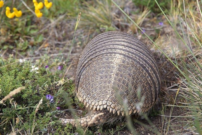 Big hairy armadillo Chaetophractus villosus royalty free stock photo