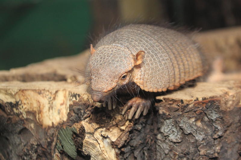 Big hairy armadillo. On the wood stock images