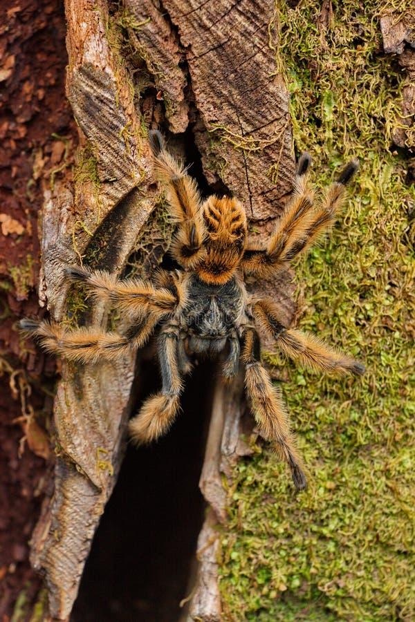 Download Big Hairy Bird Spider Stock Photo - Image: 83721485