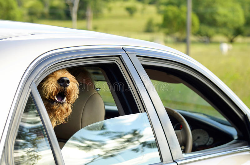 Big happy dog sticking head out car window smiling going for ride. A great warm image full of joy of the simple pleasures in life. A big hairy dog, otherwise stock image