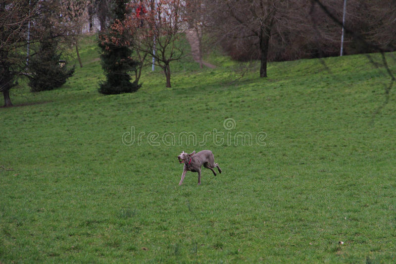 A big happy dog runs back with tennis ball royalty free stock photos
