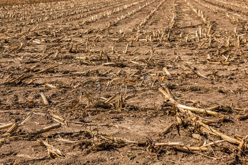 Big harvested corn field with brown soil stock images