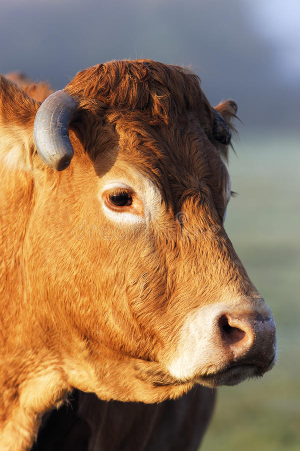 Download Big head stock image. Image of cattle, morning, bovine - 22068035