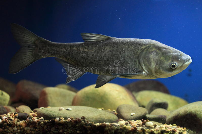 Big head carp. Floating in water stock photography
