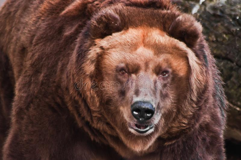 Big head of a huge brown bear. The big head of a huge brown bear, a symbol of strength and wildness stock photos