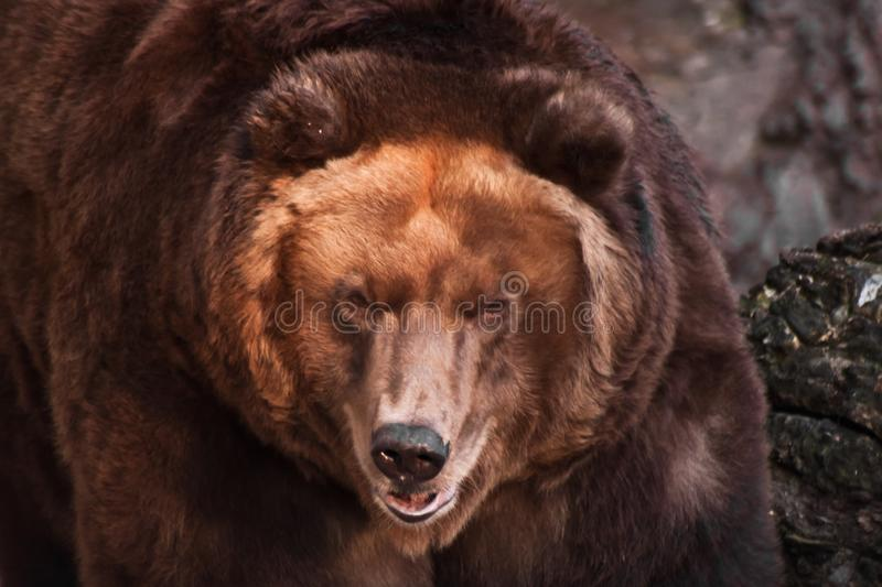Big head of a huge brown bear. The big head of a huge brown bear, a symbol of strength and wildness stock photography