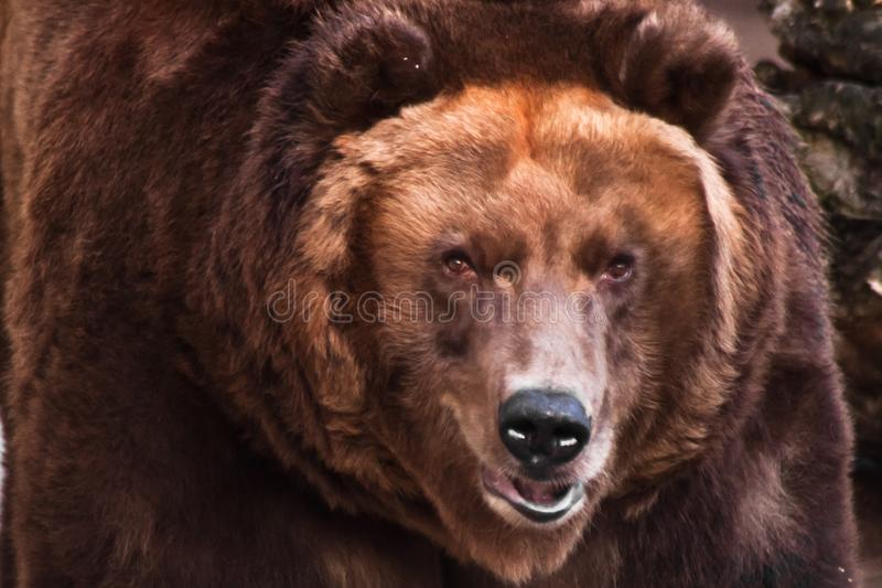 Big head of a huge brown bear. The big head of a huge brown bear, a symbol of strength and wildness stock photo