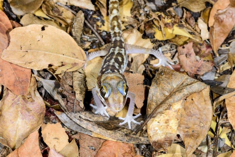 Download Big headed gecko, kirindy stock photo. Image of nocturnal - 26827208