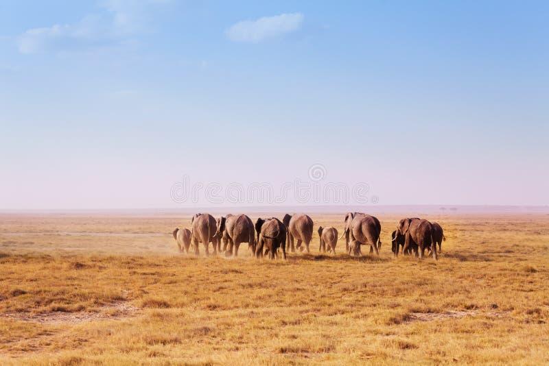 Big herd of elephants walking in Kenyan savannah. Back view of big herd of elephants walking in waste Kenyan savannah, Africa stock image