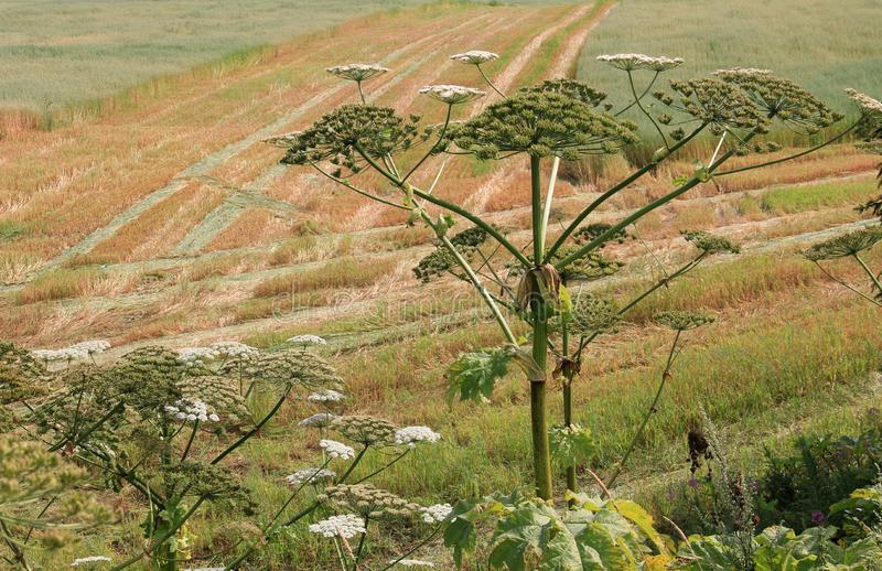 Hogweed on field two. Big hogweed on field in countryside royalty free stock photography