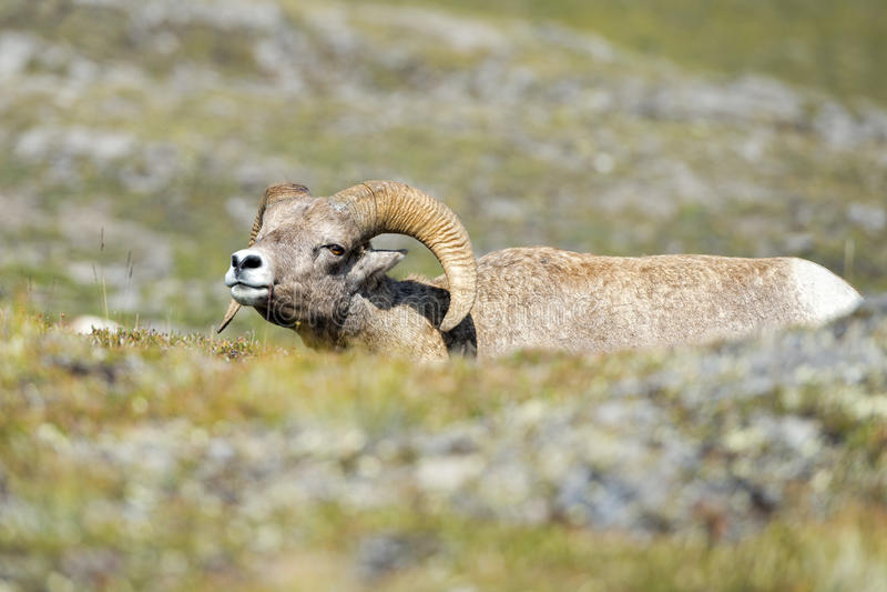 Big Horn Barani portret na skalistych górach Kanada fotografia stock